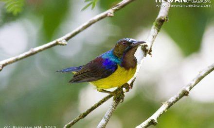 Burung Madu Kelapa ( Anthreptes Malacensis )