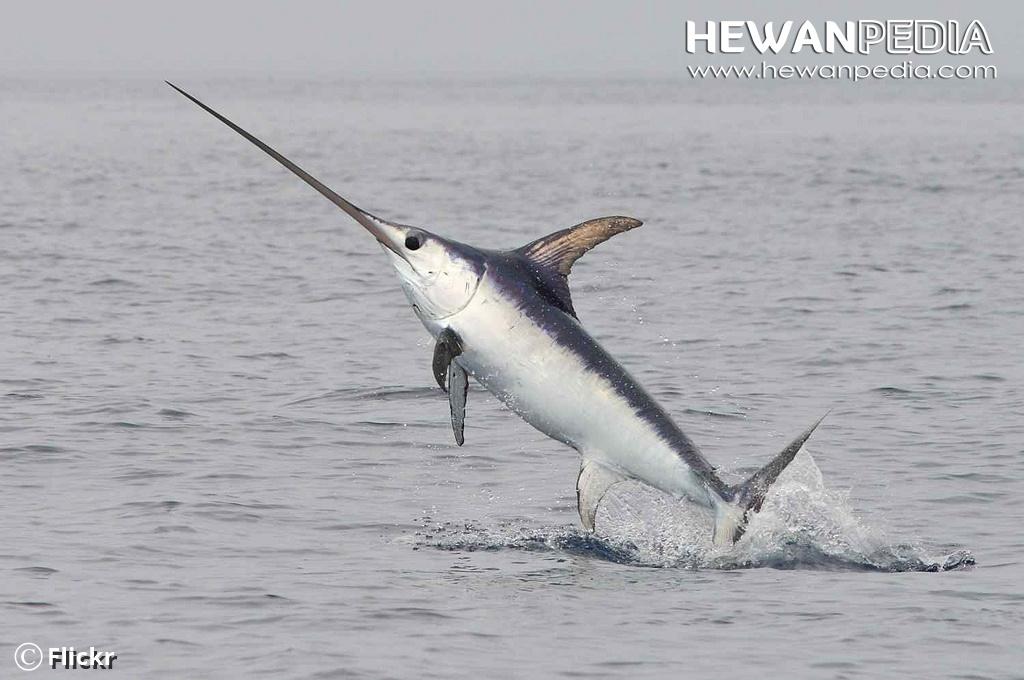 Fakta Menarik Seputar Ikan Todak Atau Ikan Pedang Hewanpedia