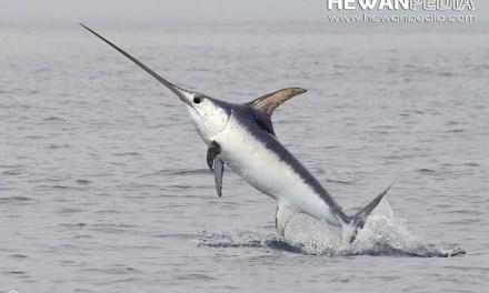Fakta Menarik Seputar Ikan Todak atau Ikan Pedang