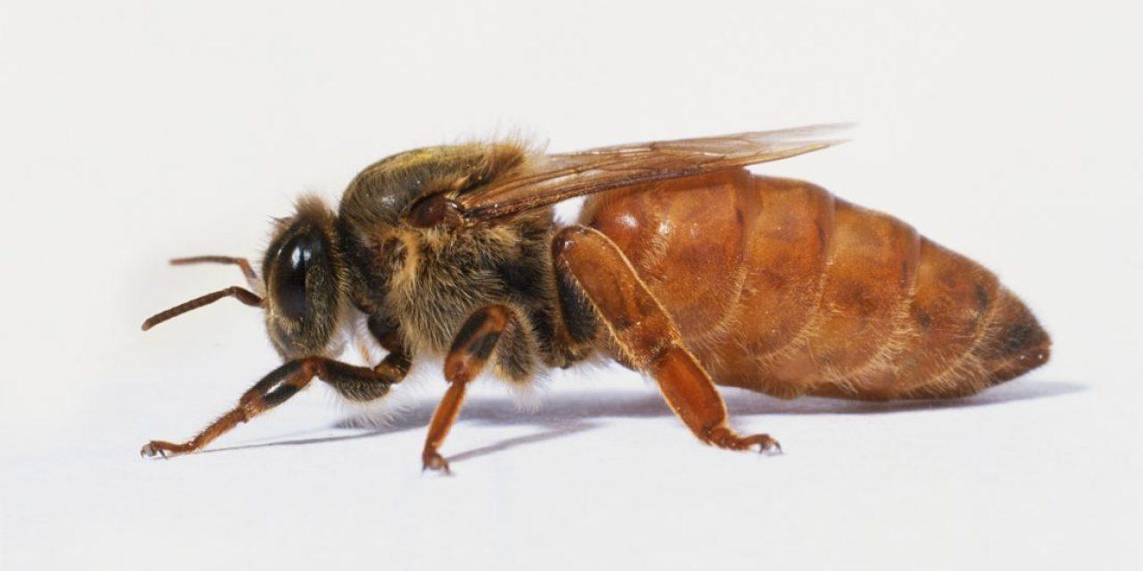 Berapa Lama Ratu Lebah Hidup ?