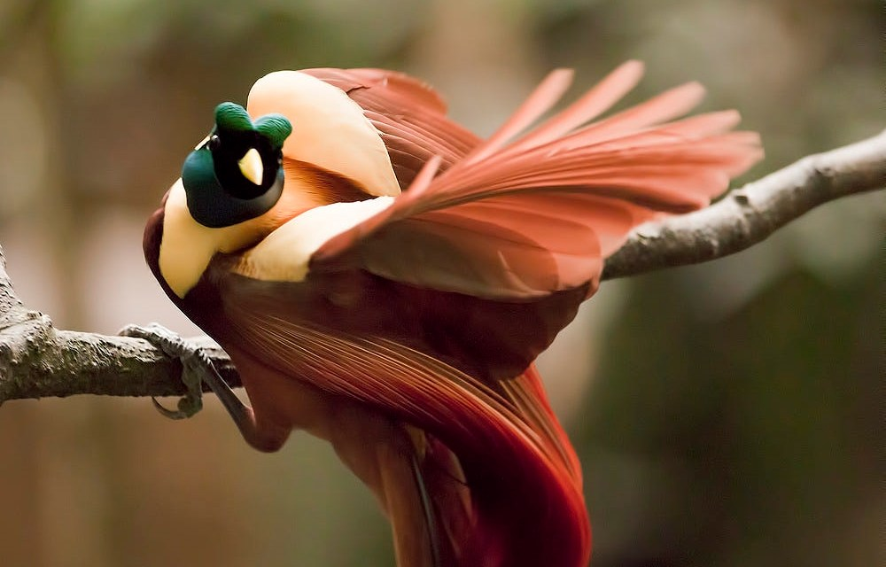 96 Gambar Burung Cendrawasih Hitam Putih HD