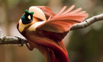 Burung Cendrawasih Merah ( Paradisaea Rubra )