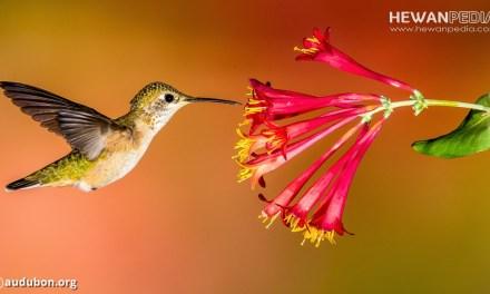 5 Fakta Burung Kolibri