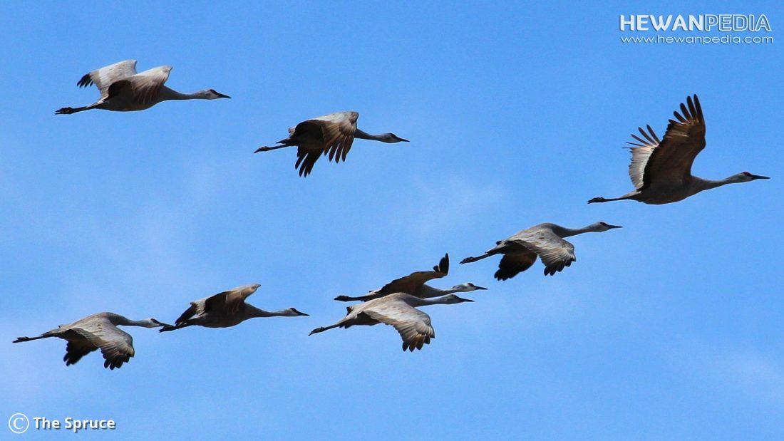 Penjelasan Lengkap Mengenai Migrasi Burung