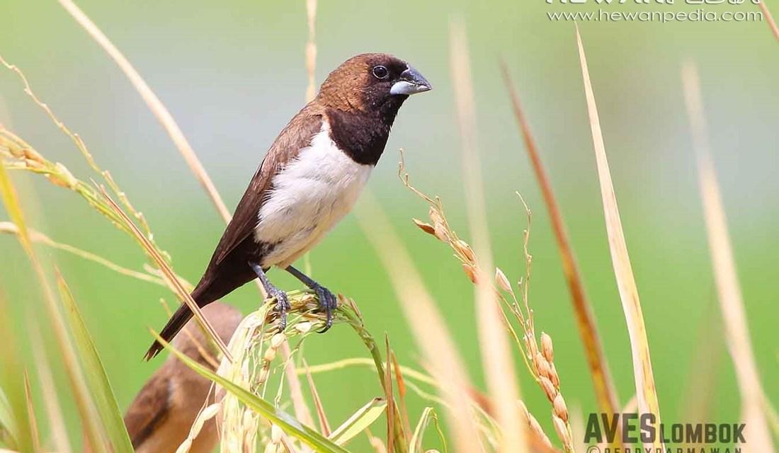 Burung Emprit Lonchura Leucogastroides Hewanpedia