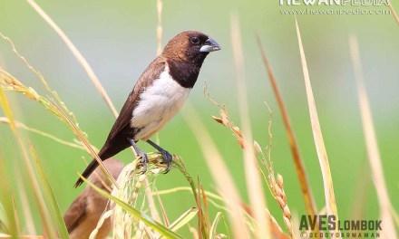 Burung Emprit ( Lonchura leucogastroides )
