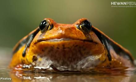 Pengertian Amfibi dan Berbagai Faktanya