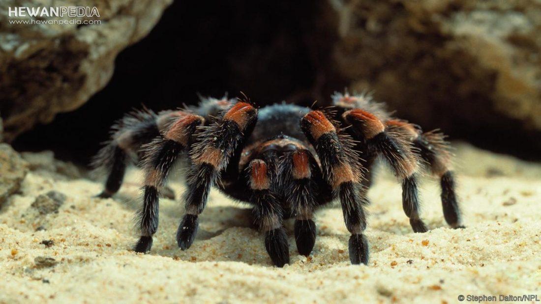 Bagaimana dan Apa yang dimakan Tarantula ?
