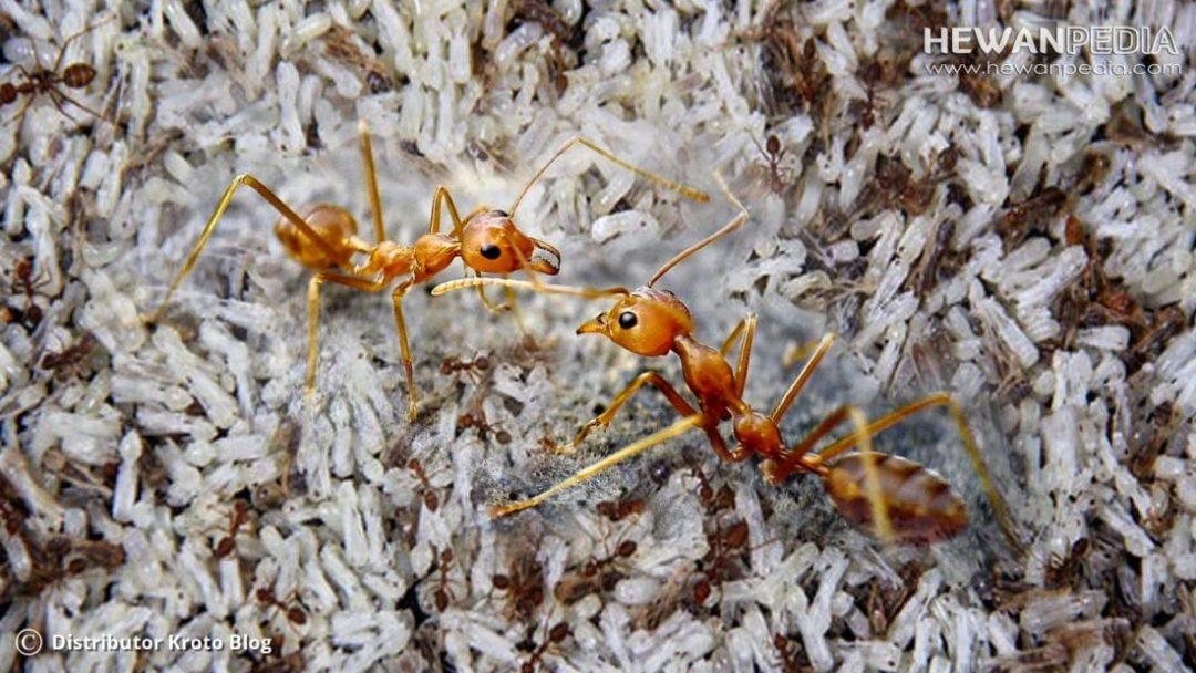 Semut Rangrang dan Kroto