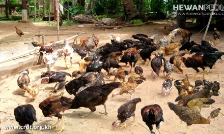 8 Tahapan dan Cara Ternak Ayam Kampung dalam 2 Bulan Siap Jual