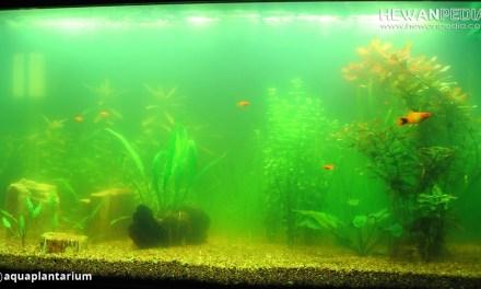 Ikan Pemakan Lumut atau Alga Paling Cocok Untuk Aquascape