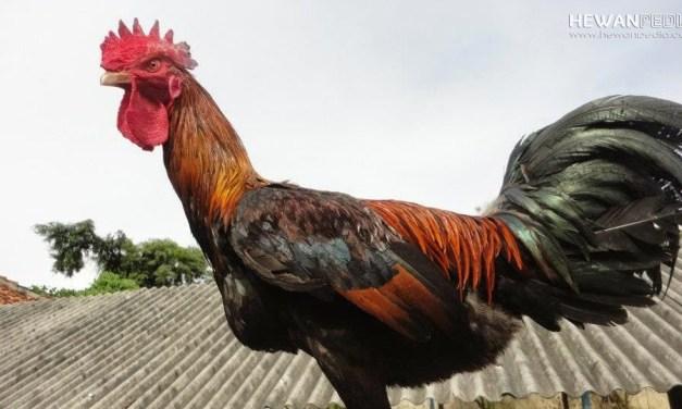 Asal dan Karakteristik Ayam Pakhoy di Asia