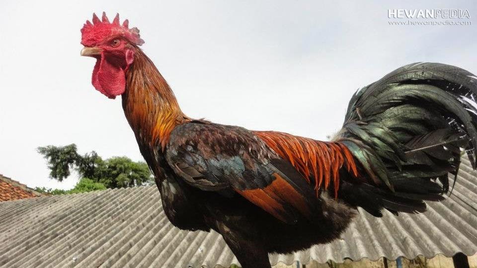Ciri Lengkap Ayam Pakhoy Yang Berkualitas Tinggi