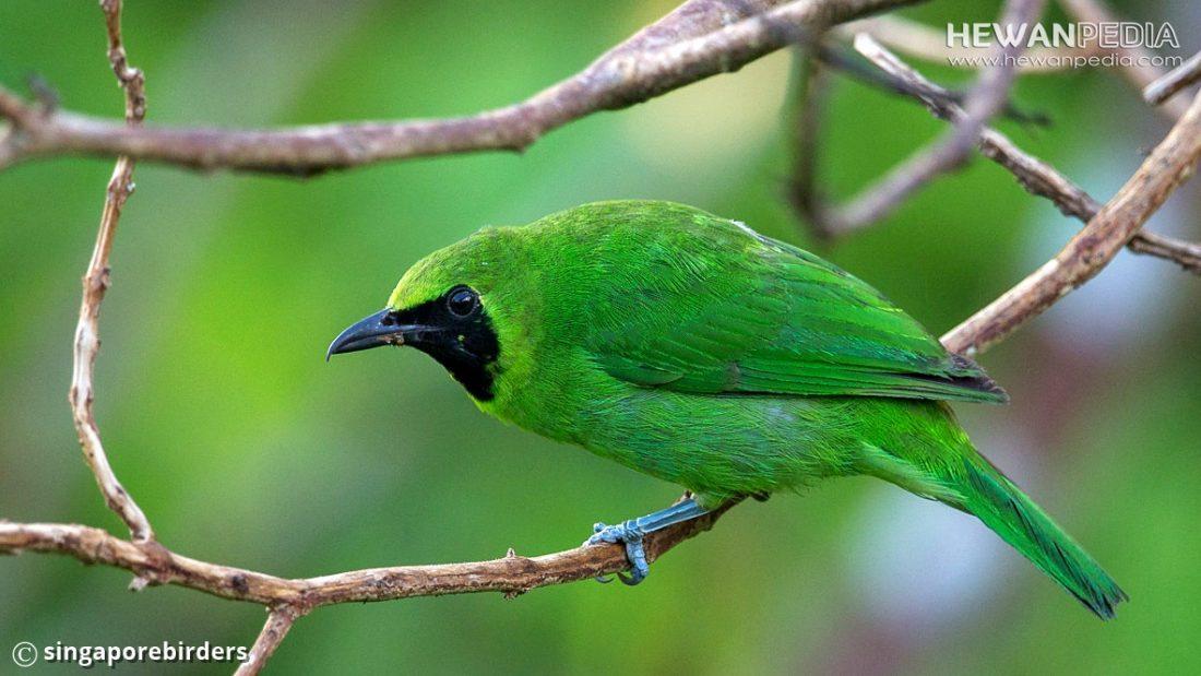3 Ciri Perbadaan Antara Burung Cucak Ijo Jantan dan Betina