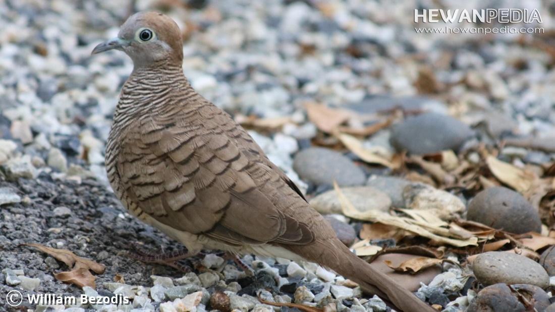 Perbedaan Burung Perkutut Lokal dan Bangkok