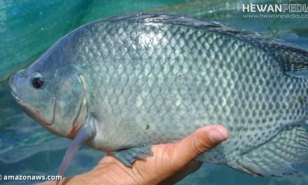8 Fakta Menarik Mengenai Ikan Nila