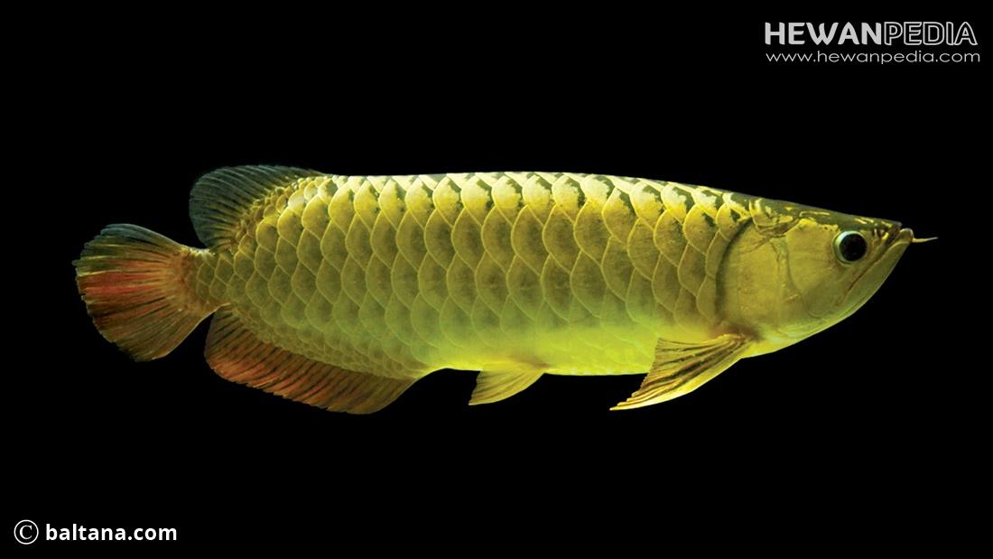 Cara Merawat Ikan Arwana Agar Sehat Dan Besar Hewanpedia