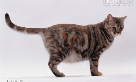 Ciri-ciri Kucing sedang Hamil dan Akan Melahirkan