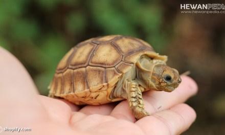 Cara Memelihara Kura-kura Darat atau Sulcata