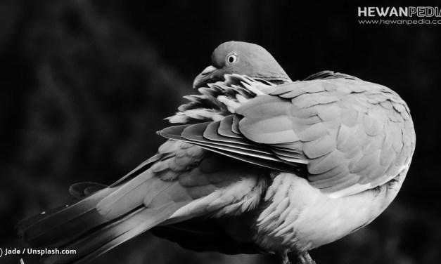 Makna Suara dan Tubuh Burung Perkutut dari Berbagai Kitab Islami