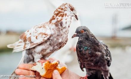 Bocor Cara Sukses Berternak Burung Merpati dari Master