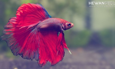 5 Jenis Makanan Terbaik untuk Ikan Cupang agar Cepat Besar
