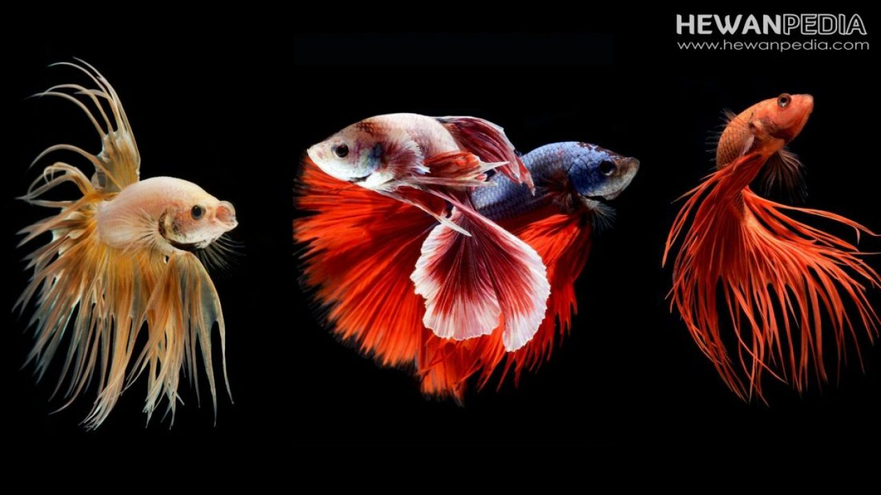 Kriteria Ikan Cupang Juara Kontes Terbaik Sesuai Jenisnya Hewanpedia