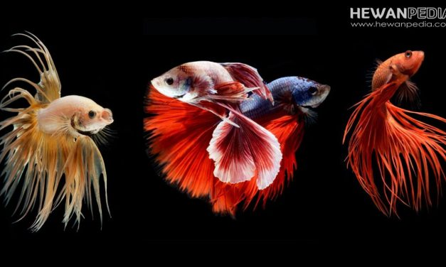 Wallpaper Gambar Foto Ikan Cupang HD