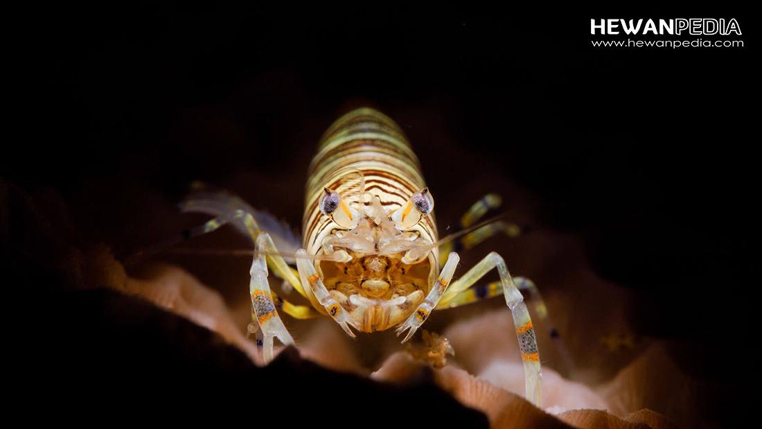 10 Jenis Udang Hias atau Shrimp yang Cocok untuk Akuarium