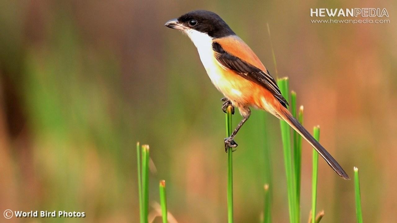 Cara Paling Ampuh Agar Burung Cendet Pentet Cepat Gacor Hewanpedia