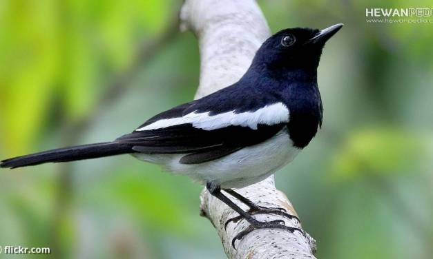 Perkiraan Kisaran Harga Burung Kecer 2021