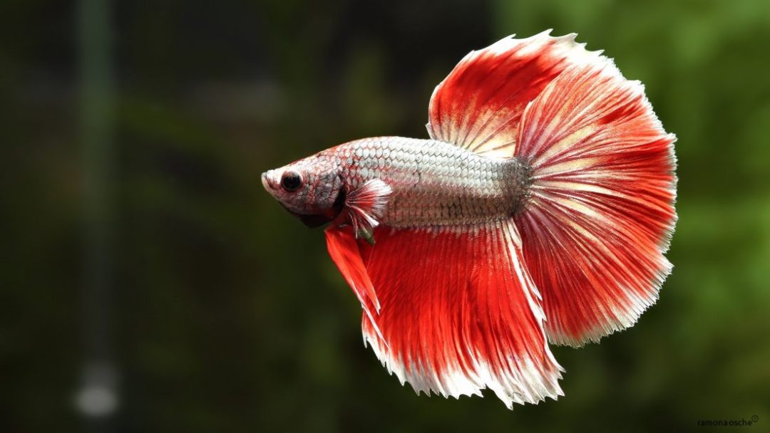 Foto Ikan Cupang Betta Fish Wallpapers HD