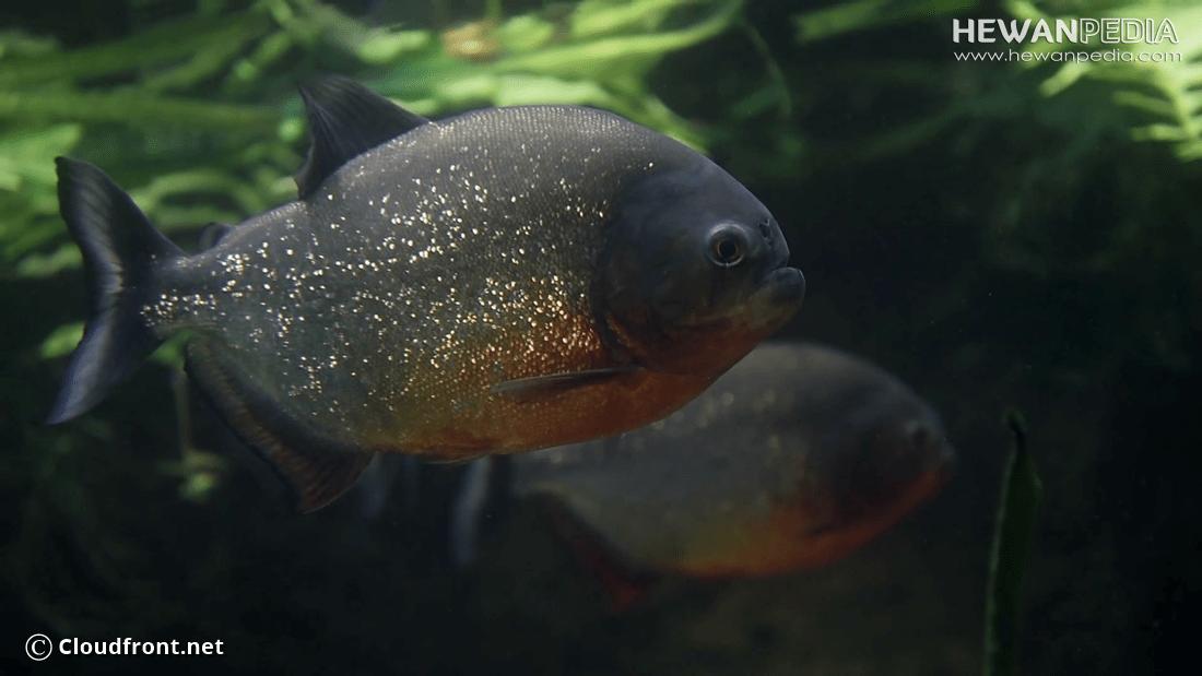 Ikan Bawal Air Tawar dan Fakta Mengenainya