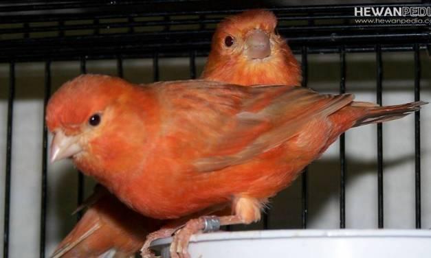 6 Cara Membedakan Burung Kenari Jantan dan Betina