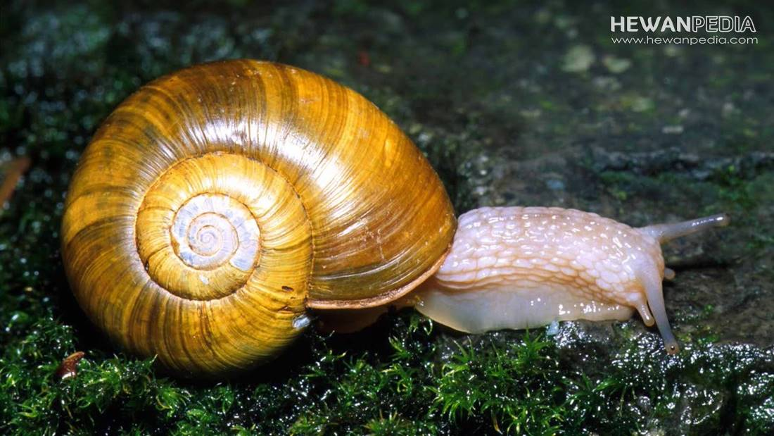 Penjelasan Mollusca atau Hewan Berbadan Lunak beserta Ciri, Jenis, dan Contohnya