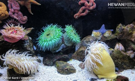 5 Jenis Anemon Laut