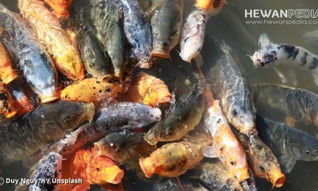3 Faktor Penentu Harga Ikan Koi