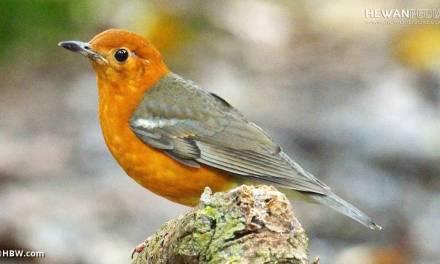 Perkiraan Kisaran Harga Burung Anis Merah Terbaru