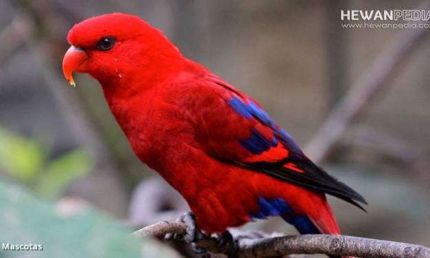 Burung Nuri Maluku dan Berbagai Fakta serta Infonya