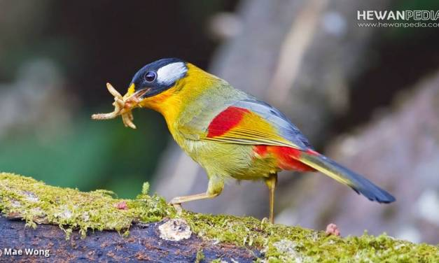 Perkiraan Kisaran Harga Burung Panca Warna (Robin) 2021