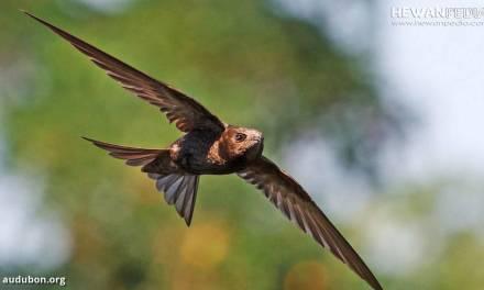 Mengenali Perbedaan Burung Walet dan Burung Layang-layang