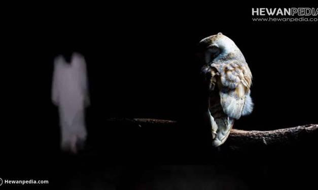 4 Arti Tanda Datangnya Burung Hantu