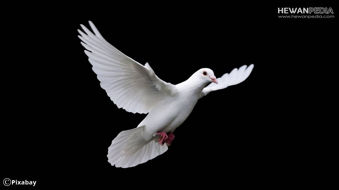 9 Cara Memelihara dan Perawatan Harian Burung Puter agar Cepat Gacor