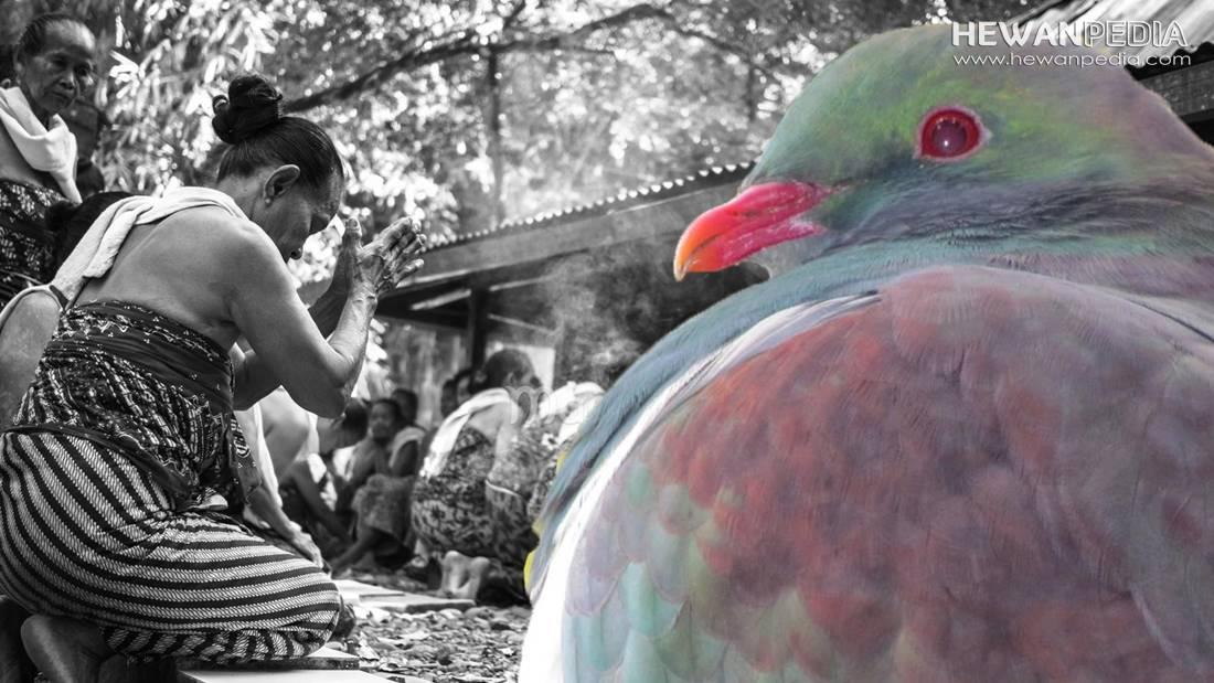 Mitos Burung Perkutut Menurut Tradisi Jawa Kuno