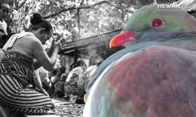 Mitos dan Tradisi Falsafah Jawa mengenai Burung Perkutut
