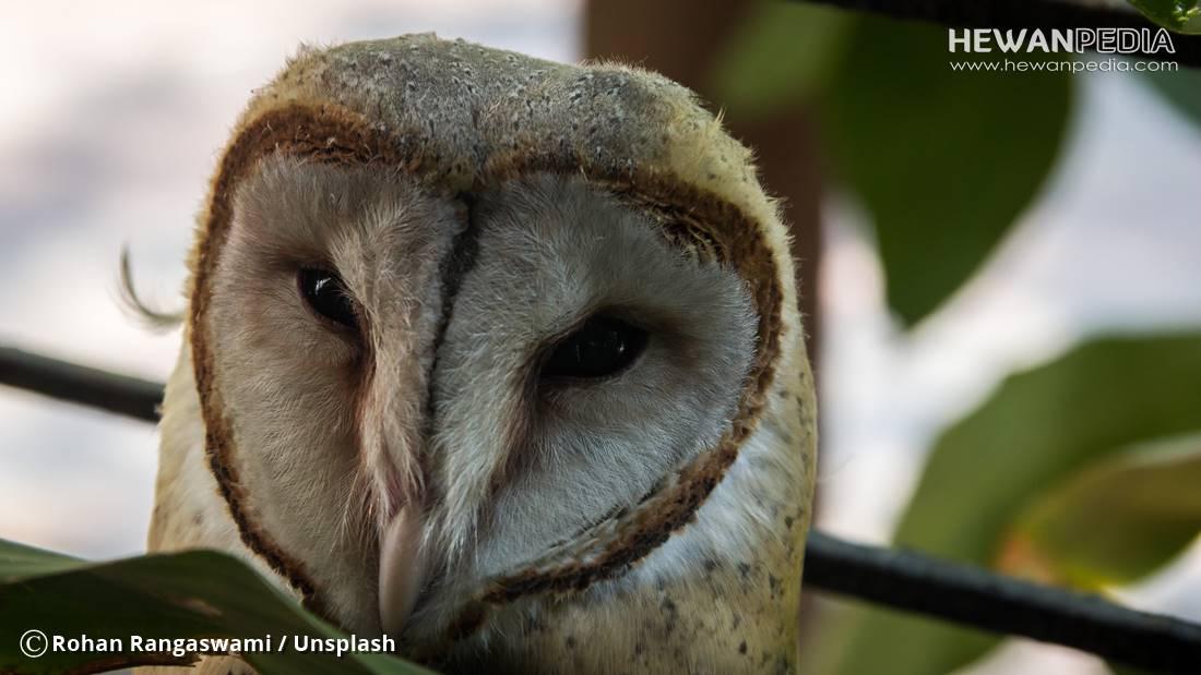 7 Cara Sukses Memelihara Burung Hantu atau Owl - Hewanpedia