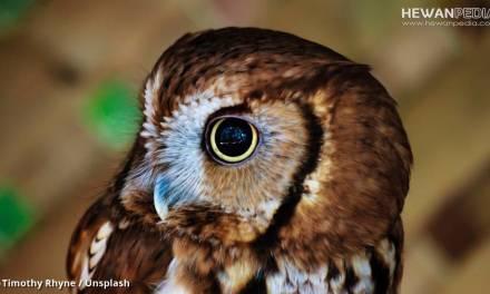 Istilah-istilah dalam Memelihara Burung Hantu dan Memelihara BOP