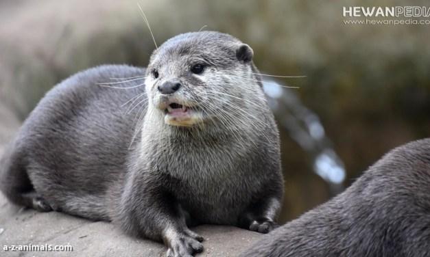 Cara Memelihara Otter atau Berang-berang yang Baik
