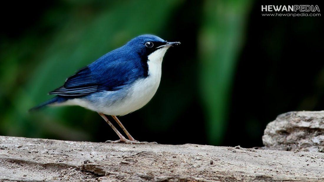 Mengenal Burung Robin Sunda dan Cara Merawatnya