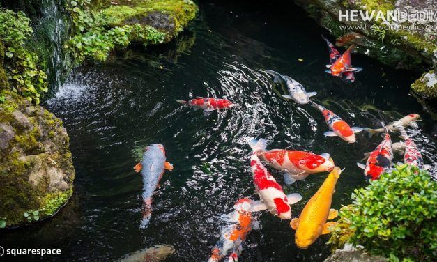 Kenali Siklus Biologi Alami Ikan Koi di Habitat Asli untuk Budidaya Ikan Koi
